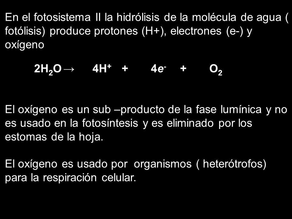 En el fotosistema II la hidrólisis de la molécula de agua ( fotólisis) produce protones (H+), electrones (e-) y oxígeno