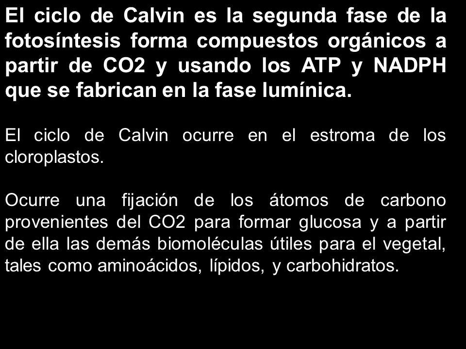 El ciclo de Calvin es la segunda fase de la fotosíntesis forma compuestos orgánicos a partir de CO2 y usando los ATP y NADPH que se fabrican en la fase lumínica.