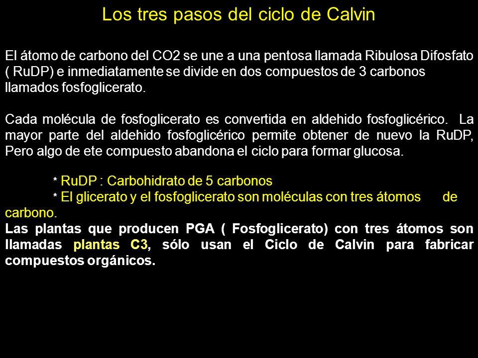 Los tres pasos del ciclo de Calvin