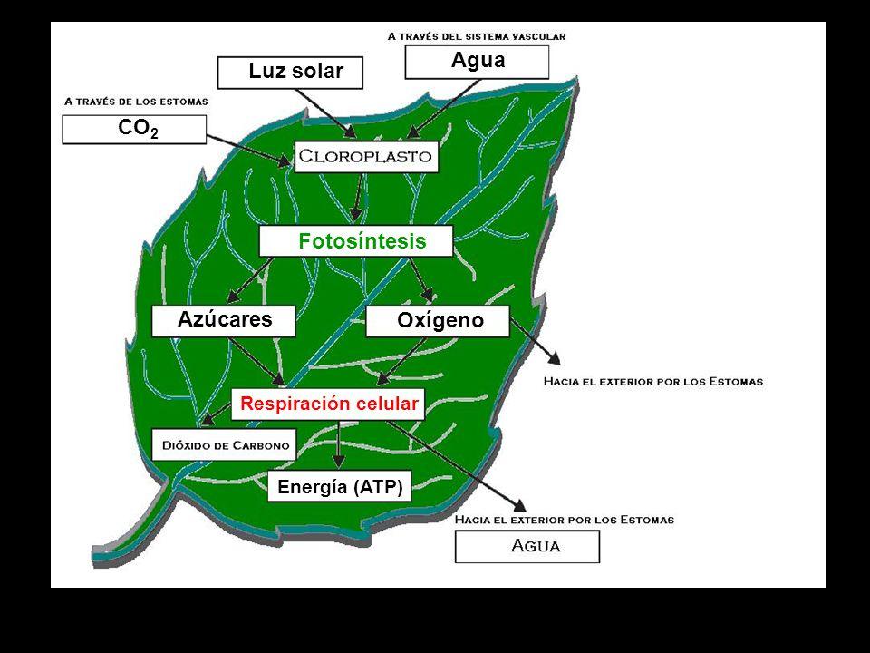 Agua Luz solar CO2 Fotosíntesis Azúcares Oxígeno Respiración celular