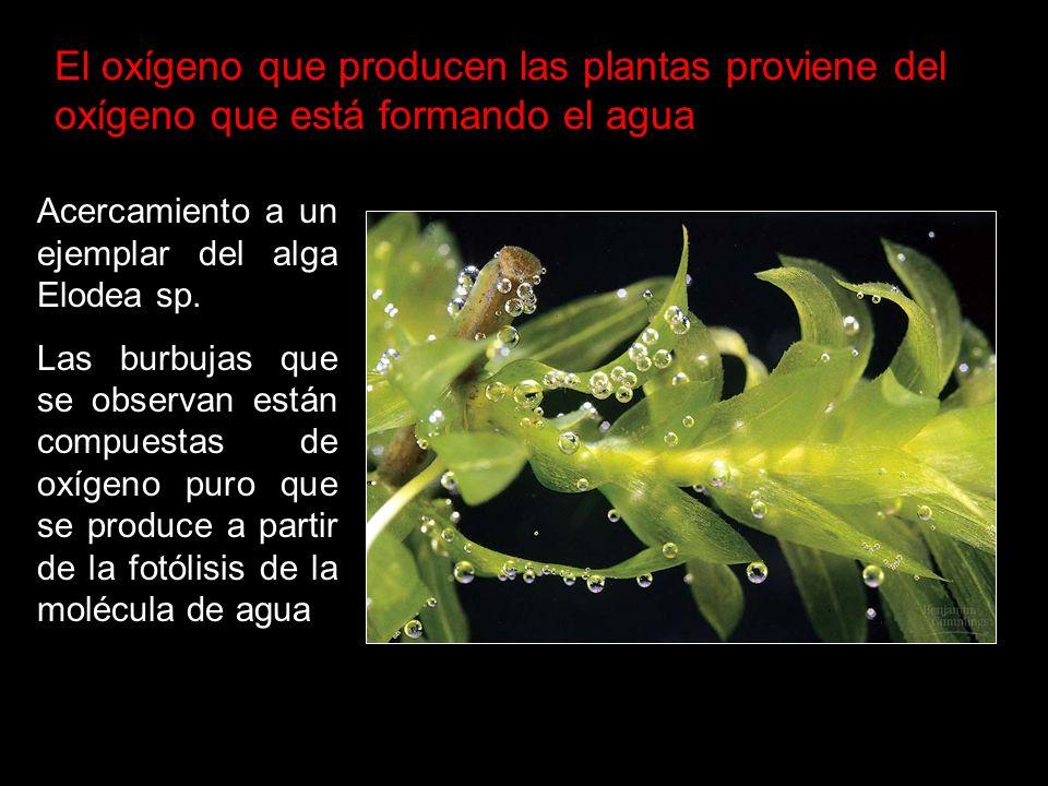 El oxígeno que producen las plantas proviene del oxígeno que está formando el agua