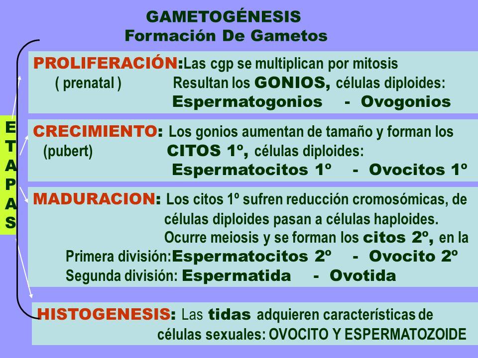 GAMETOGÉNESIS Formación De Gametos. PROLIFERACIÓN:Las cgp se multiplican por mitosis.