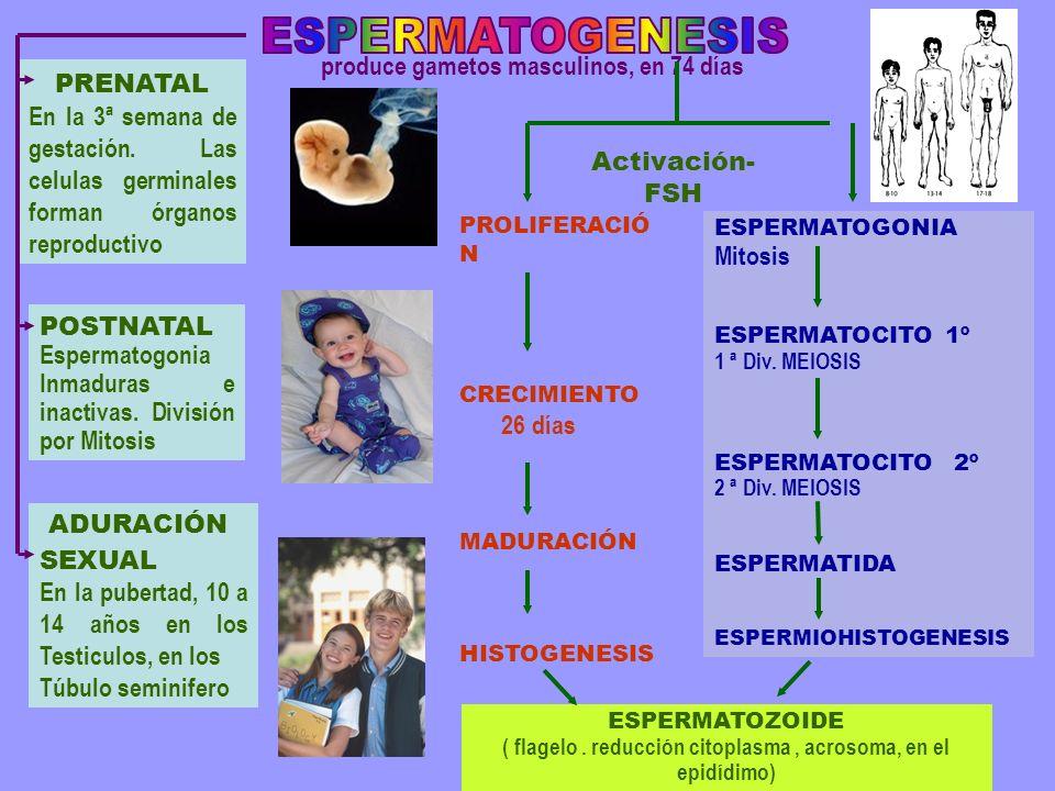 ESPERMATOGENESIS produce gametos masculinos, en 74 días PRENATAL