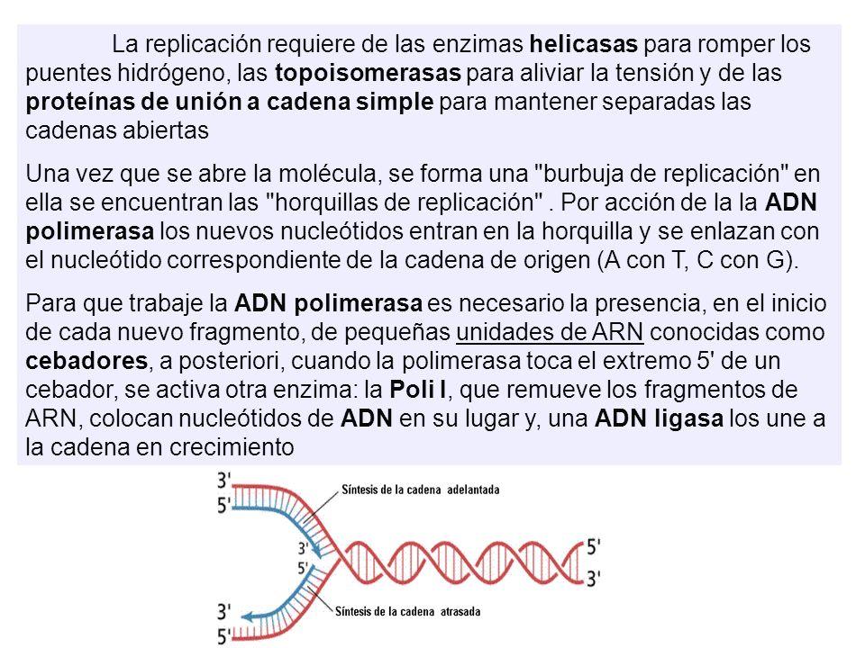 La replicación requiere de las enzimas helicasas para romper los puentes hidrógeno, las topoisomerasas para aliviar la tensión y de las proteínas de unión a cadena simple para mantener separadas las cadenas abiertas