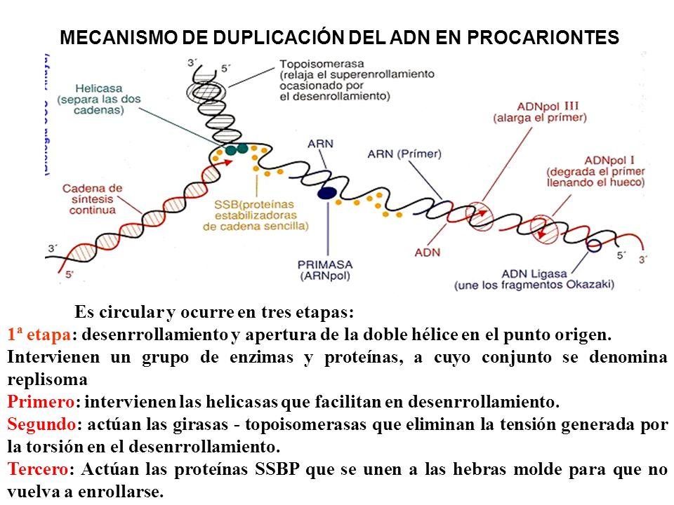 MECANISMO DE DUPLICACIÓN DEL ADN EN PROCARIONTES