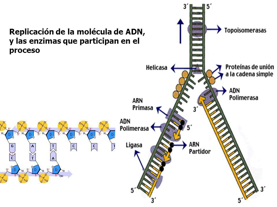 Replicación de la molécula de ADN, y las enzimas que participan en el proceso