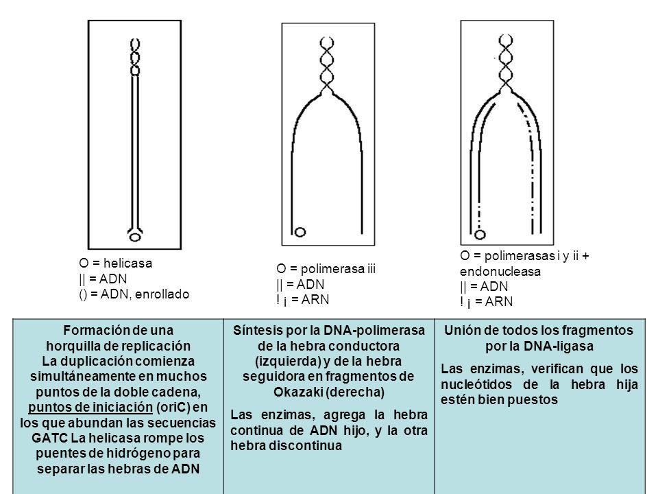 O = polimerasas i y ii + endonucleasa || = ADN ! ¡ = ARN O = helicasa