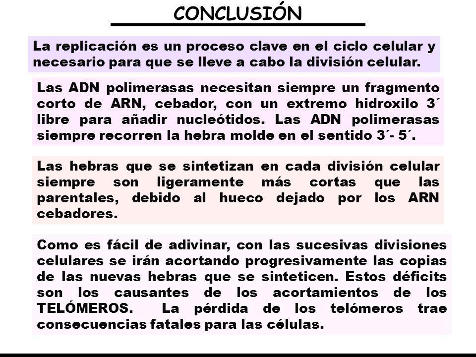 CONCLUSIÓNLa replicación es un proceso clave en el ciclo celular y necesario para que se lleve a cabo la división celular.