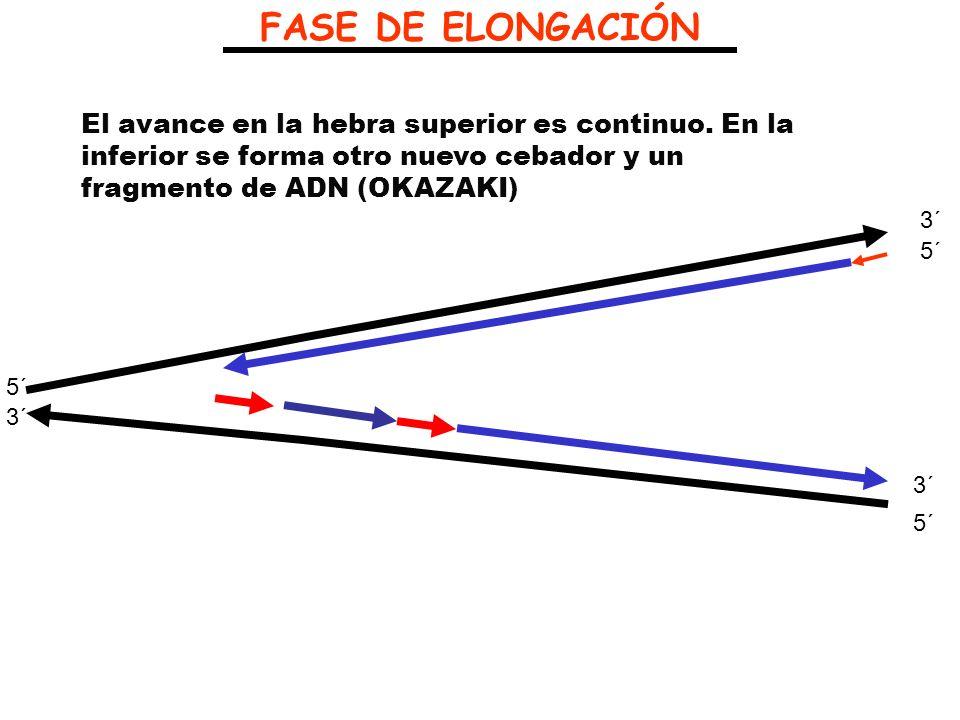FASE DE ELONGACIÓNEl avance en la hebra superior es continuo. En la inferior se forma otro nuevo cebador y un fragmento de ADN (OKAZAKI)