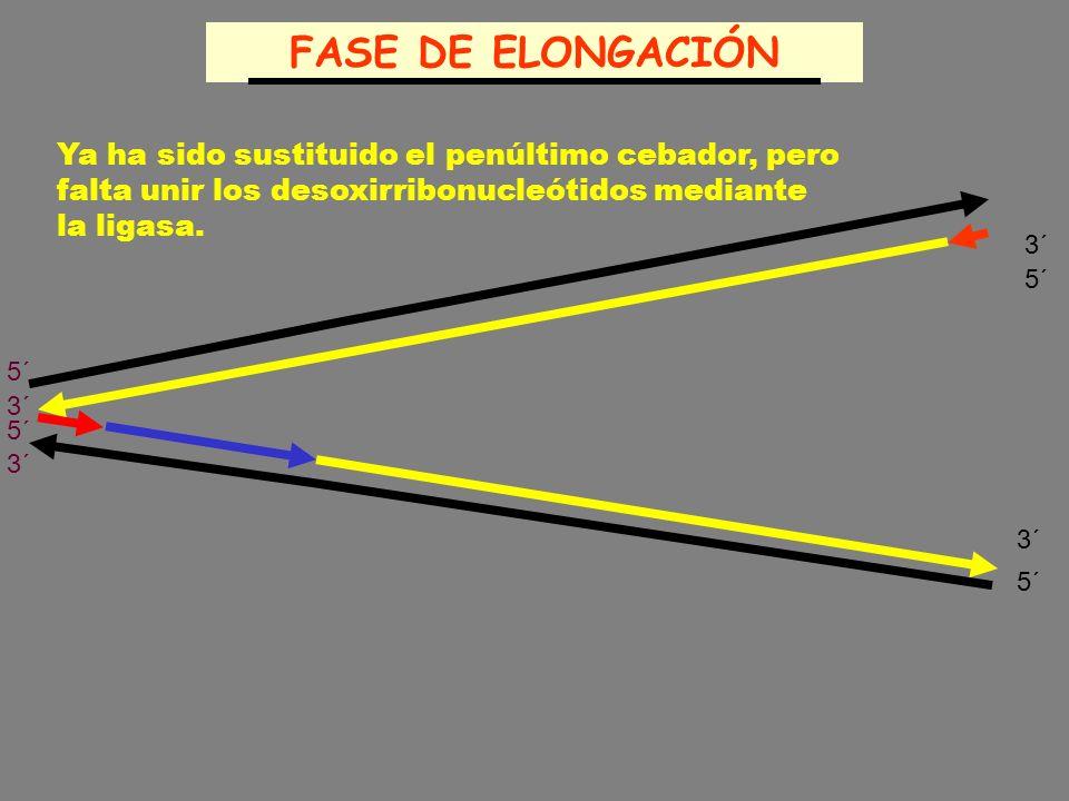 FASE DE ELONGACIÓN Ya ha sido sustituido el penúltimo cebador, pero falta unir los desoxirribonucleótidos mediante la ligasa.