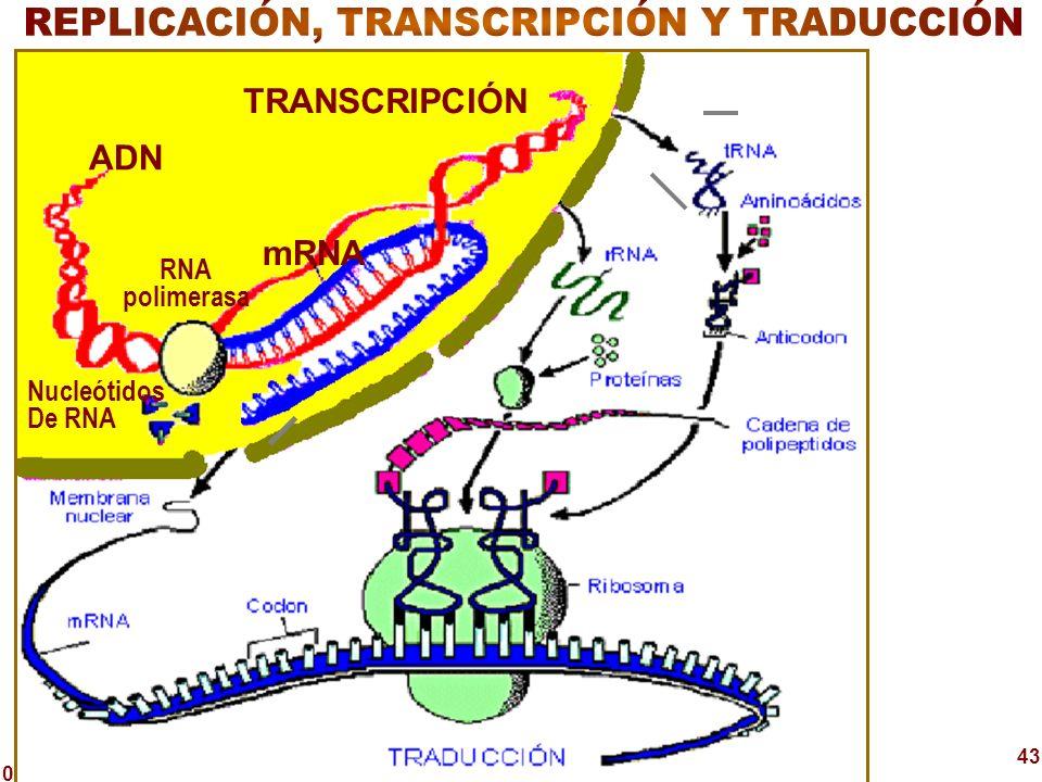 REPLICACIÓN, TRANSCRIPCIÓN Y TRADUCCIÓN