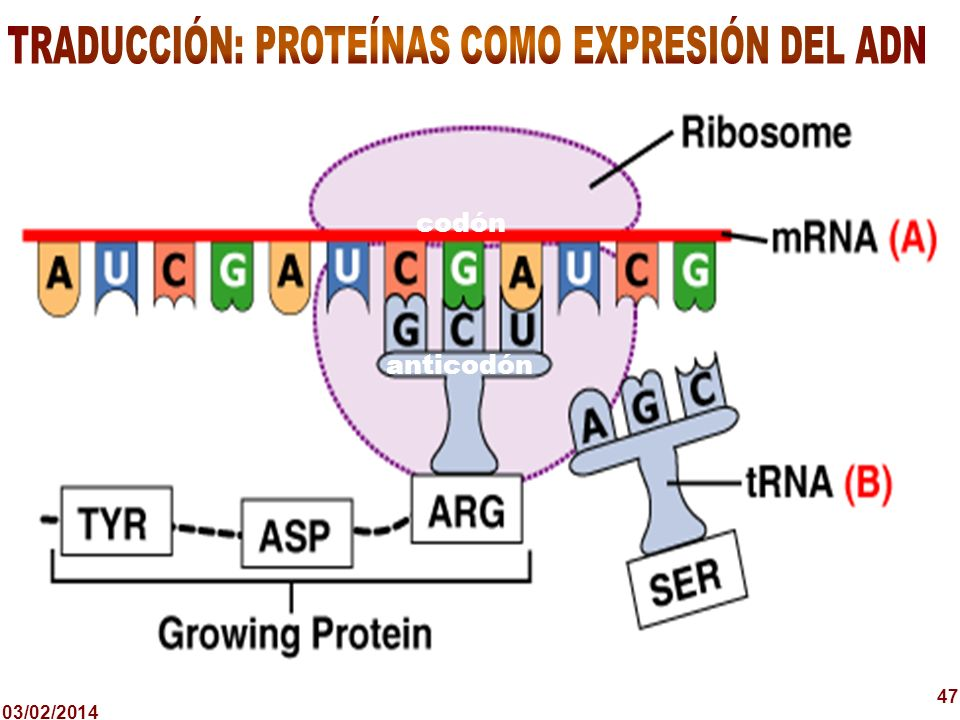 TRADUCCIÓN: PROTEÍNAS COMO EXPRESIÓN DEL ADN