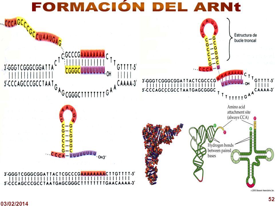 FORMACIÓN DEL ARNt 52 24/03/2017 52