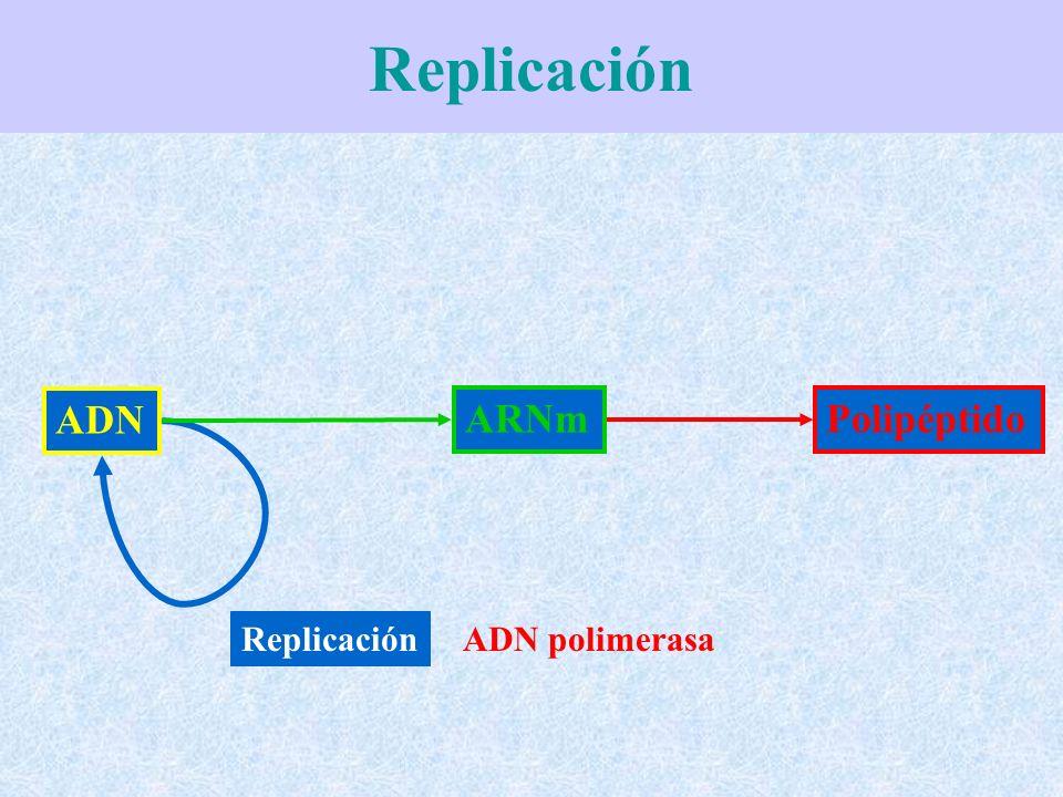 Replicación ADN ARNm Polipéptido Replicación ADN polimerasa