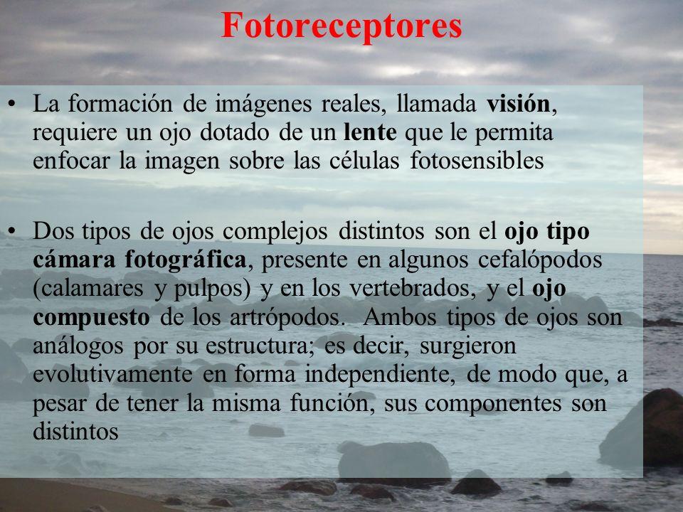 Fotoreceptores