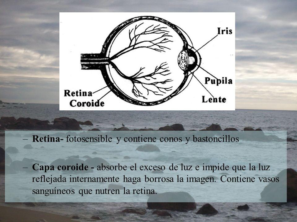 Retina- fotosensible y contiene conos y bastoncillos
