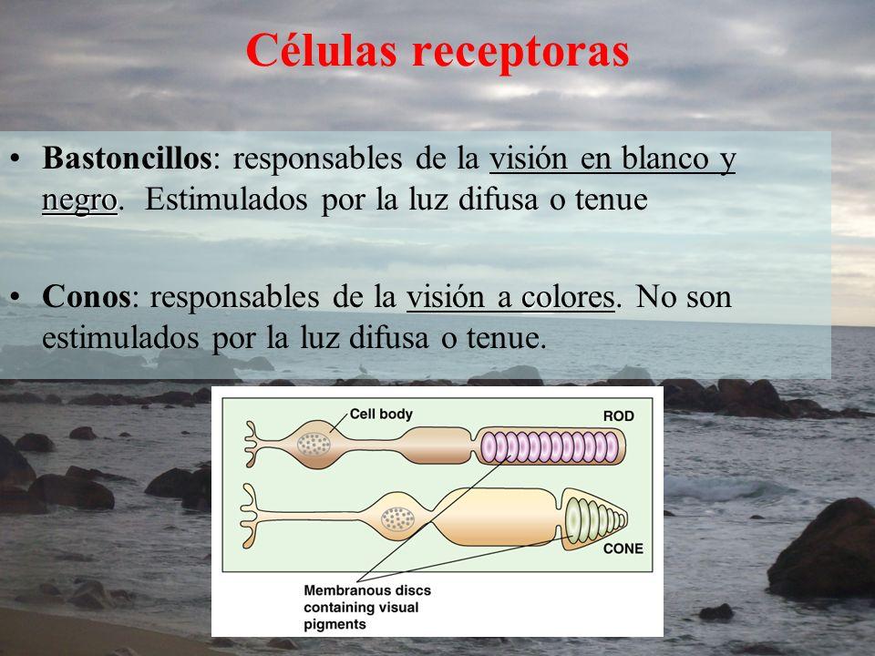 Células receptoras Bastoncillos: responsables de la visión en blanco y negro. Estimulados por la luz difusa o tenue.