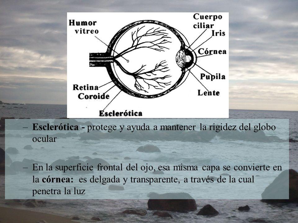 Esclerótica - protege y ayuda a mantener la rigidez del globo ocular