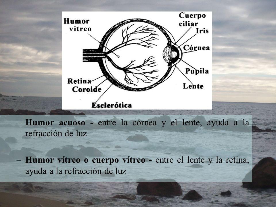 Humor acuoso - entre la córnea y el lente, ayuda a la refracción de luz