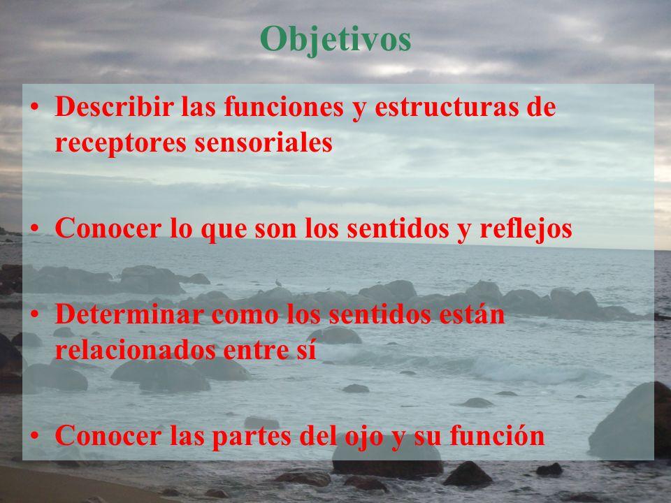 Objetivos Describir las funciones y estructuras de receptores sensoriales. Conocer lo que son los sentidos y reflejos.
