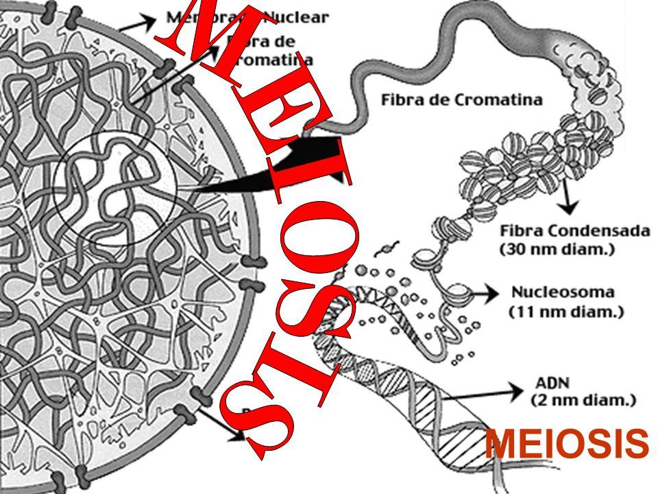 MEIOSIS MEIOSIS
