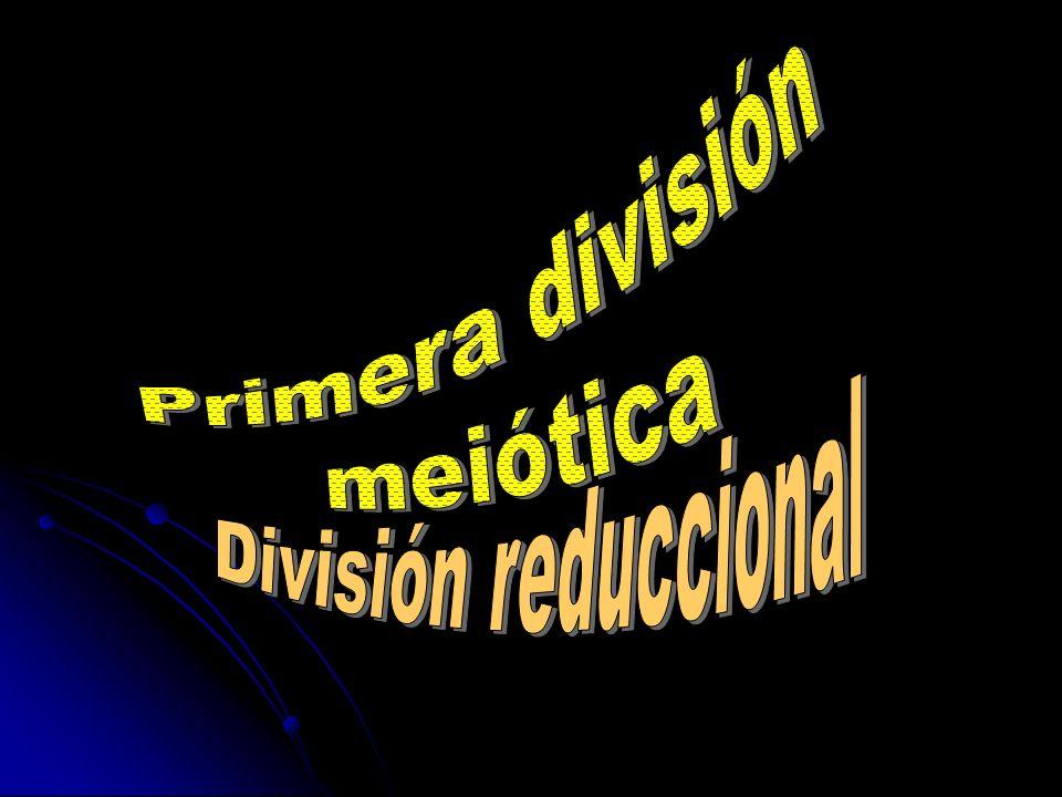 Primera división meiótica División reduccional