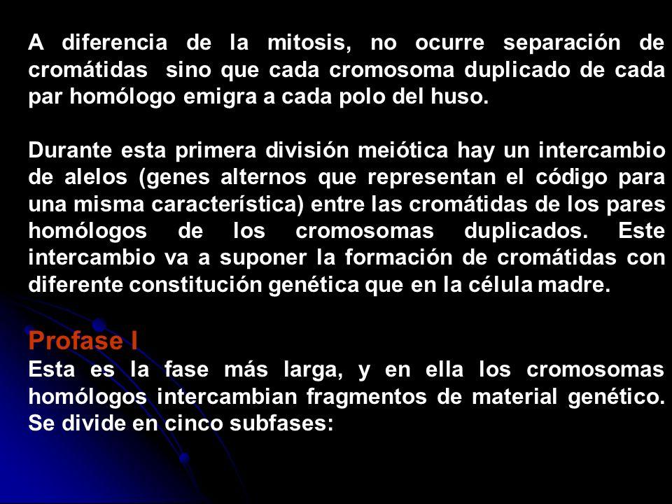 A diferencia de la mitosis, no ocurre separación de cromátidas sino que cada cromosoma duplicado de cada par homólogo emigra a cada polo del huso.