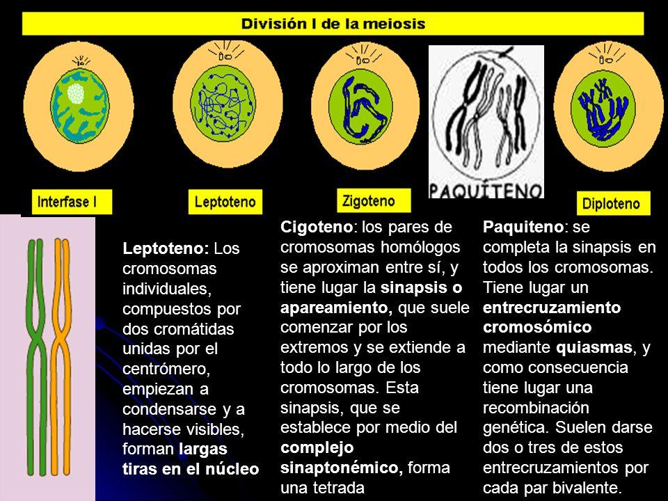 Cigoteno: los pares de cromosomas homólogos se aproximan entre sí, y tiene lugar la sinapsis o apareamiento, que suele comenzar por los extremos y se extiende a todo lo largo de los cromosomas. Esta sinapsis, que se establece por medio del complejo sinaptonémico, forma una tetrada