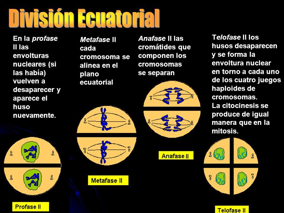 División Ecuatorial En la profase II las envolturas nucleares (si las había) vuelven a desaparecer y aparece el huso nuevamente.