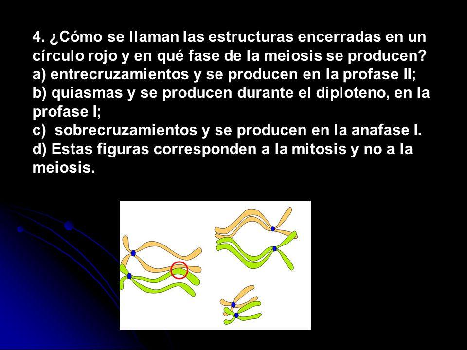 4. ¿Cómo se llaman las estructuras encerradas en un círculo rojo y en qué fase de la meiosis se producen