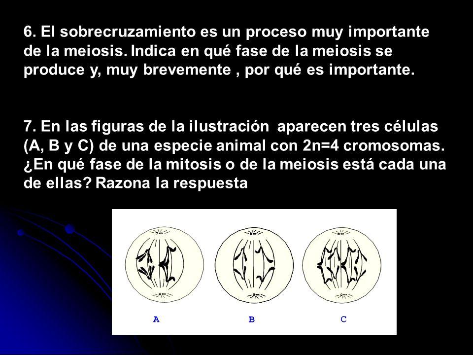 6. El sobrecruzamiento es un proceso muy importante de la meiosis