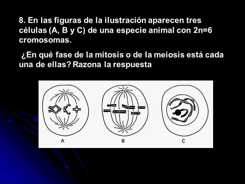 8. En las figuras de la ilustración aparecen tres células (A, B y C) de una especie animal con 2n=6 cromosomas.