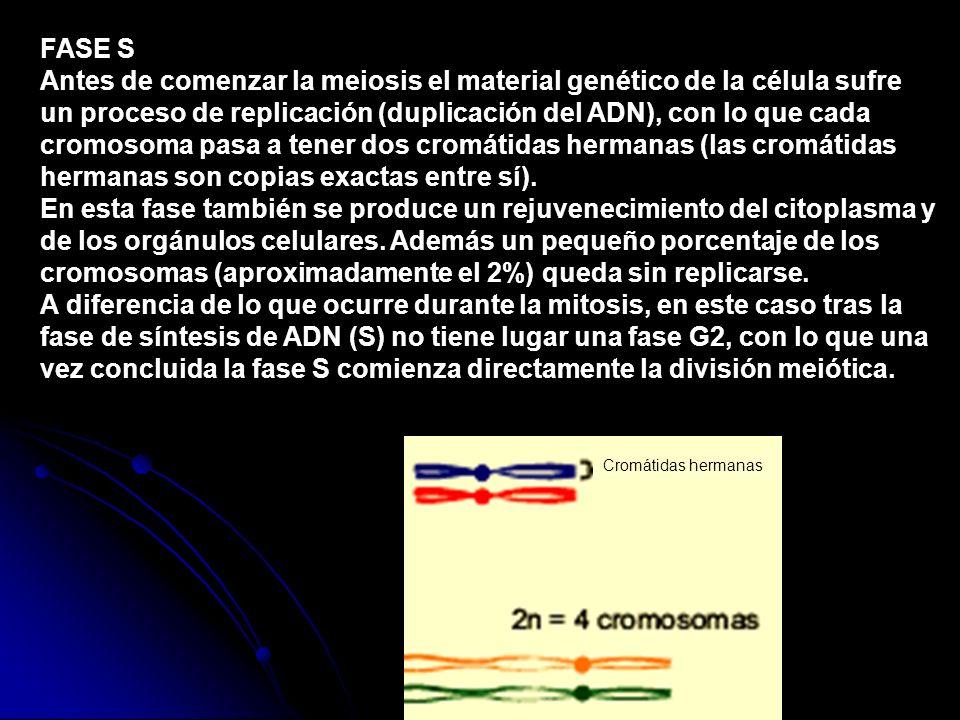Antes de comenzar la meiosis el material genético de la célula sufre