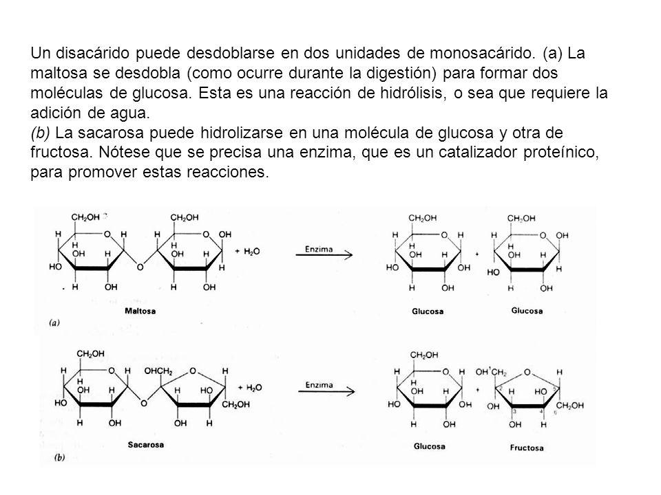 Un disacárido puede desdoblarse en dos unidades de monosacárido