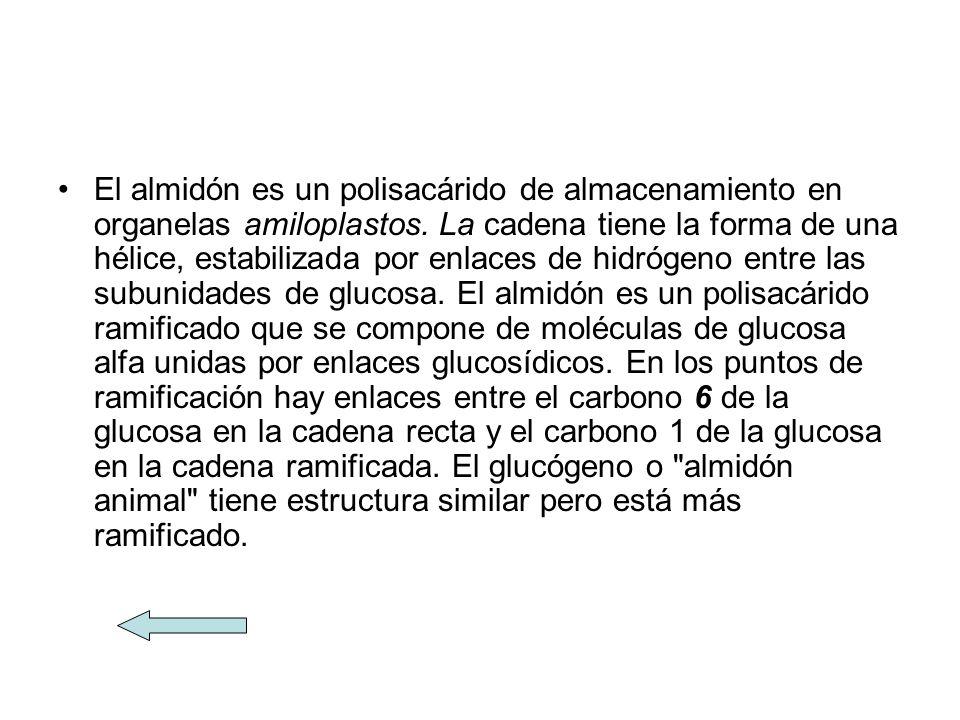 El almidón es un polisacárido de almacenamiento en organelas amiloplastos.
