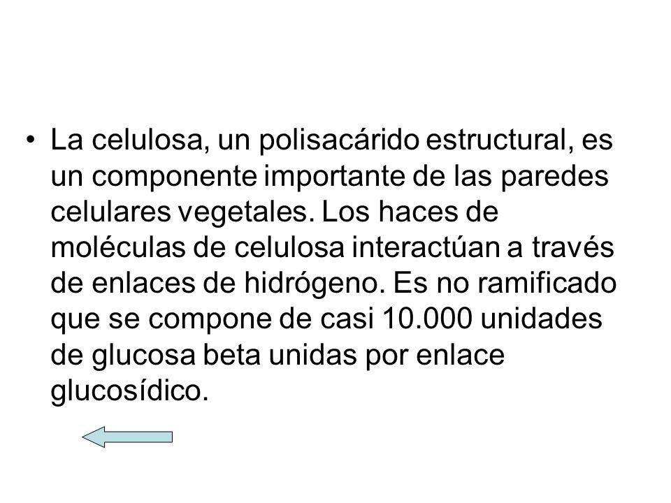 La celulosa, un polisacárido estructural, es un componente importante de las paredes celulares vegetales.