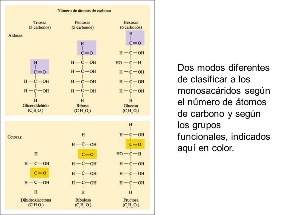 Dos modos diferentes de clasificar a los monosacáridos según el número de átomos de carbono y según los grupos funcionales, indicados aquí en color.