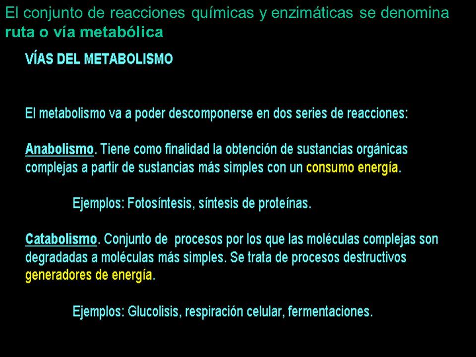 El conjunto de reacciones químicas y enzimáticas se denomina ruta o vía metabólica