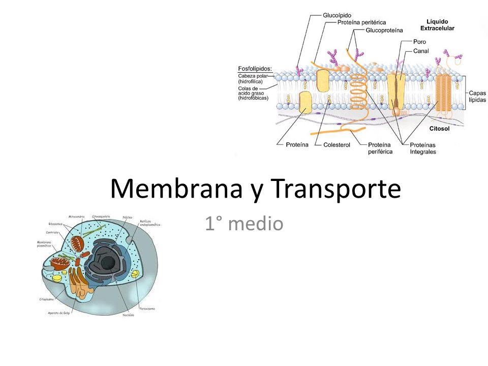 Membrana y Transporte 1° medio