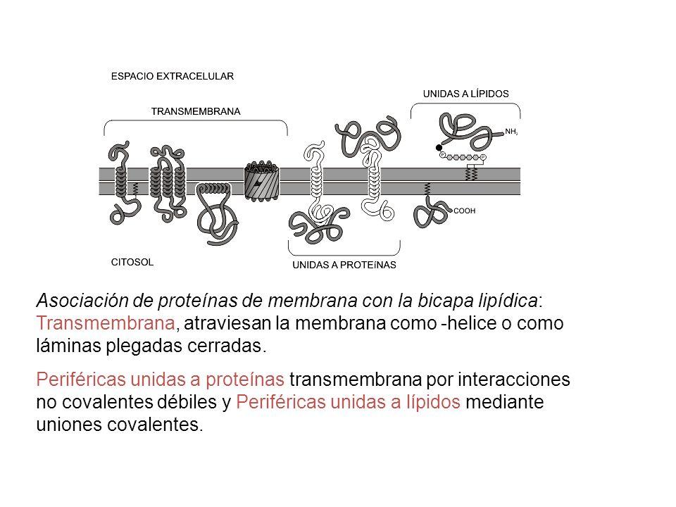Asociación de proteínas de membrana con la bicapa lipídica: Transmembrana, atraviesan la membrana como -helice o como láminas plegadas cerradas.