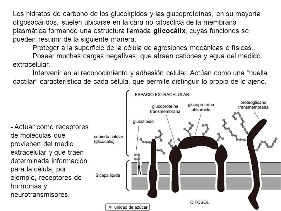 Los hidratos de carbono de los glucolípidos y las glucoproteínas, en su mayoría oligosacáridos, suelen ubicarse en la cara no citosólica de la membrana plasmática formando una estructura llamada glicocálix, cuyas funciones se pueden resumir de la siguiente manera: