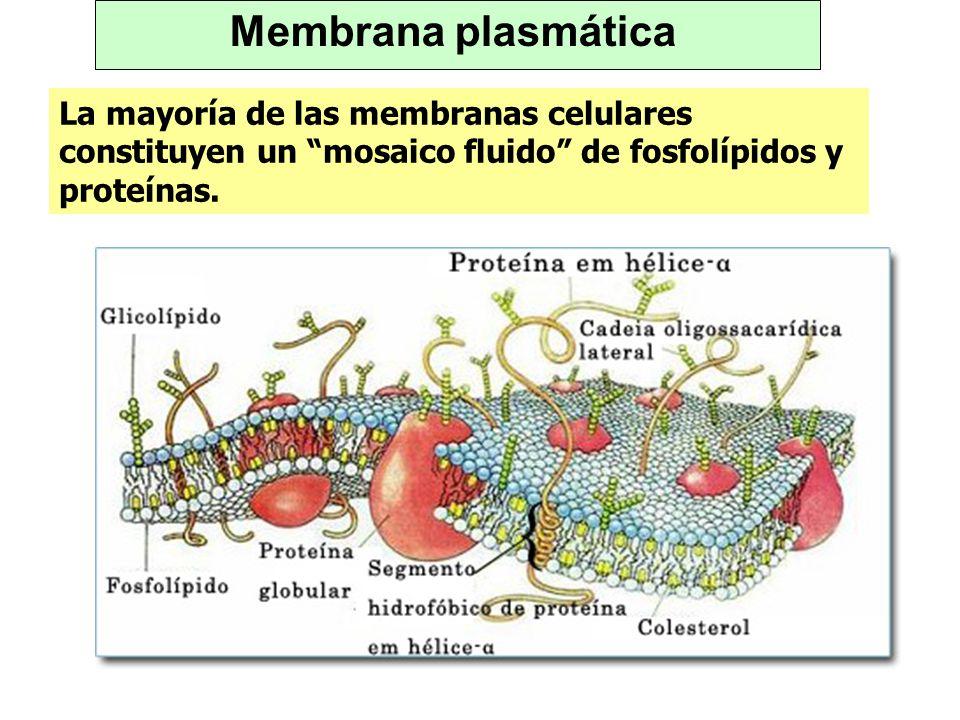 Membrana plasmáticaLa mayoría de las membranas celulares constituyen un mosaico fluido de fosfolípidos y proteínas.