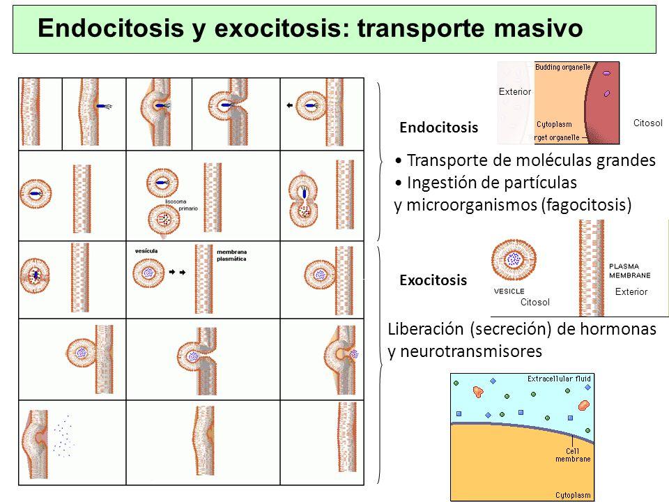 Endocitosis y exocitosis: transporte masivo