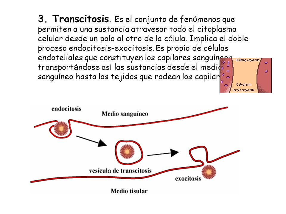 3.Transcitosis.