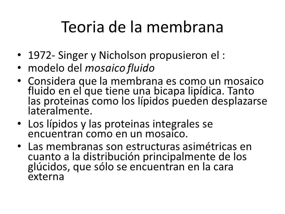 Teoria de la membrana 1972- Singer y Nicholson propusieron el :