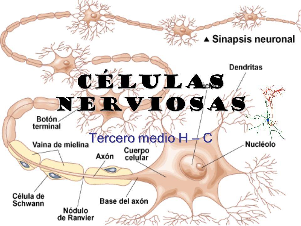 Células nerviosas Tercero medio H – C