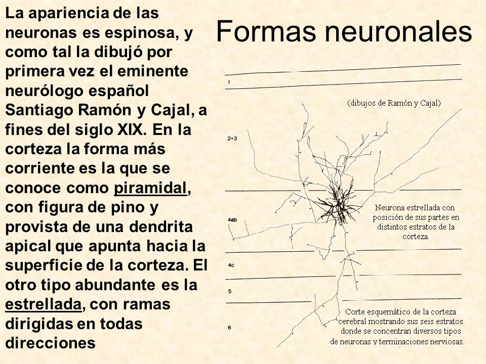 Formas neuronales
