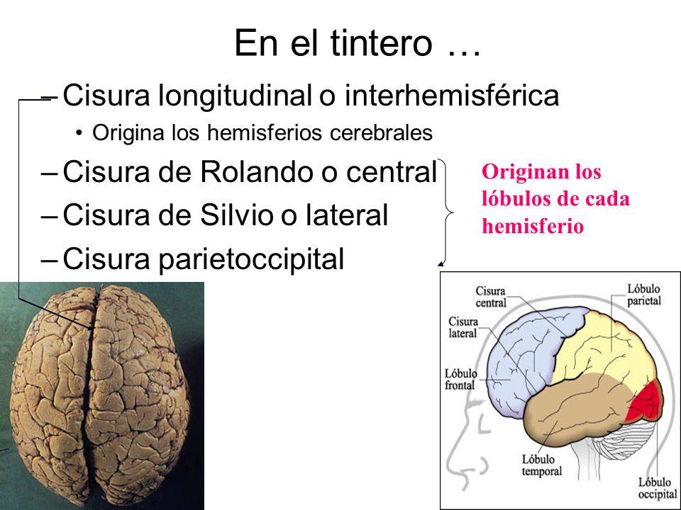 En el tintero … Cisura longitudinal o interhemisférica