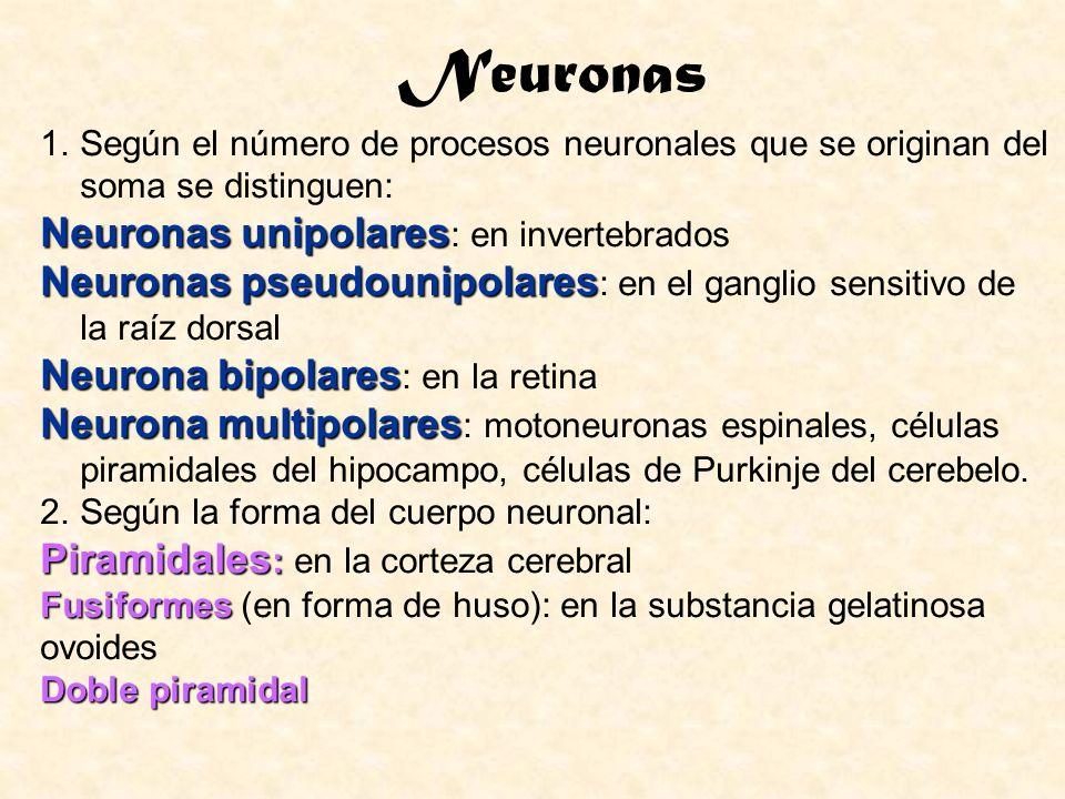 Neuronas Neuronas unipolares: en invertebrados