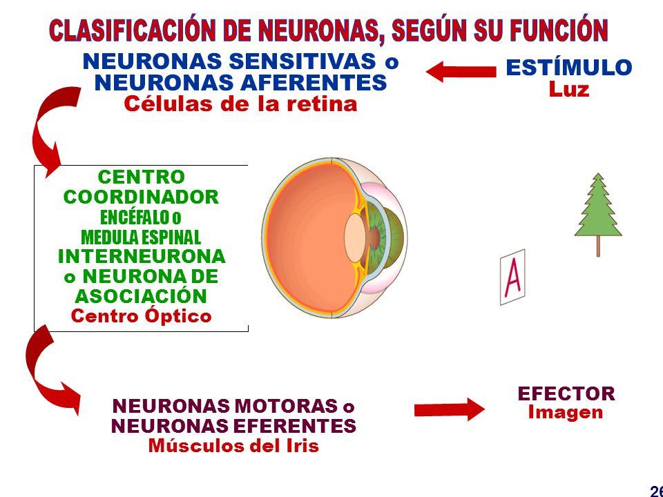 CLASIFICACIÓN DE NEURONAS, SEGÚN SU FUNCIÓN